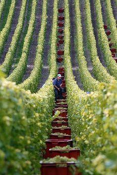 Harvesting Champagne grapes