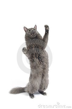 Cat standing on hind legs by Czuber, via Dreamstime