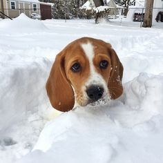 Oh Louie, sorry about those blizzards. Its kind of hard to navigate the snow when you are only a 13 inch beagle.