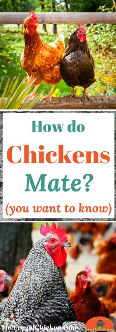 Chickens mate in a mysterious way - and it's unlike other animals on your farm! To keep your hens healthy, you want to know how chickens mate! Raising Backyard Chickens, Backyard Poultry, Keeping Chickens, Pet Chickens, Urban Chickens, Goat Playground, Backyard Playground, Playground Ideas, Pallet Playground