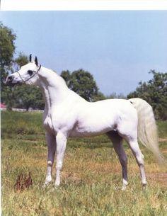 EL HALIMAAR  (*Ansata Ibn Halima++ x RDM Maar Hala, by El Hilal) 1980 grey stallion   1983 US National Top Ten Futurity Stallion