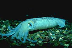 Being able to change their colour, the Opalescent Squids can become practically invisible for predators