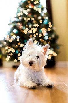Beautiful Photos of Dogs at Christmastime
