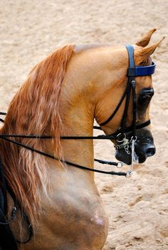 Beautiful Saddleseat Arabian