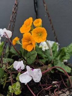 My Spring hanging baskets are in flower!