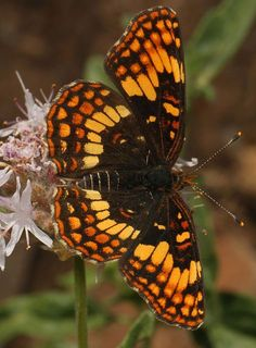 Hoffman's Checkerspot -- Gorgeous hues.