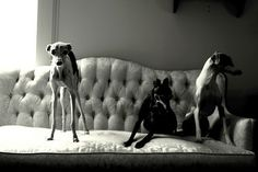 puppies, couch and greyhound image on We Heart It Magyar Agar, Dog Lady, Rat Terriers, Grey Hound Dog, Irish Wolfhound, Italian Greyhound, I Love Cats, Dog Lovers, Cute Animals