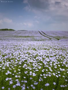 #theencompassingworld:    wanderthewood:    Field of linseed Wiltshire England by Sarah_Brooks  Explore The World Around Us