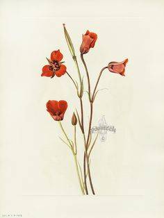 """Antique prints of """"Scarlet Mariposa"""" from Walcott North American Wild Flowers 1925"""