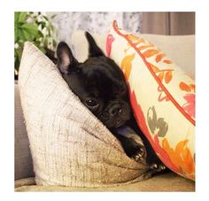 """""""Shhhhhh... they'll never find me here"""", adorable French Bulldog Puppy"""