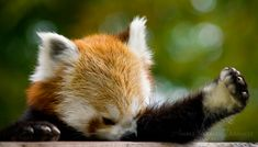 "Haha. He's like, ""Damn you, pugs! I'm cuter than you!"" haha #RedPanda"