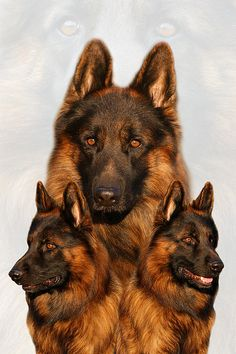 Collage of a long coated German Shepherd Dog