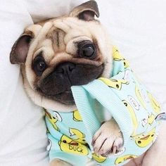 Do you have a Pug? What is your Pugs name? Here are 30 pugs with great names! Cute Baby Animals, Funny Animals, Animals Dog, Sleepy Dogs, Baby Pugs, Pug Puppies, Terrier Puppies, Boston Terrier, Cute Pugs