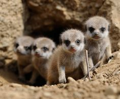 how cute Meerkat babies Unique Animals, Cute Baby Animals, Animals And Pets, Mundo Animal, My Animal, Hamsters, Cat Stands, Little Critter, Fauna