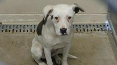 "Cage 51 ""ANDI""..Pit Bull Female ONLY 4 MONTHS! White/Black. THIS DOG HAS ONE FACEBOOK SHARE. Intake 4-4-14 Due out 4-11-14 -- SEE THIS? ONLY ONE WEEK AND THEN A PUPPY IS GONE! NICE SHELTER. Roswell Animal Control, NM. https://www.facebook.com/RoswellUrgentAnimalsAtAnimalControl/photos/a.256367154531289.1073741868.176246809209991/270865029748168/?type=3&theater"