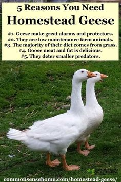 Homestead Geese - Which Goose Breed Should I Get? When Should You Get Geese? What Do Geese Need for Shelter Food? Are Geese Aggressive? Raising Farm Animals, Raising Ducks, Raising Chickens, Backyard Farming, Chickens Backyard, Backyard Ducks, Fancy Chickens, Farming Life, Urban Chickens