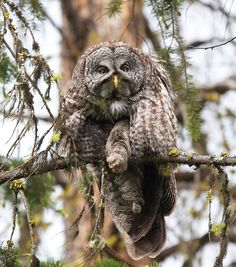 Great Gray Owl. lives in northern tundra, usually below zero degrees. This bird is almost all beautiful fluff.