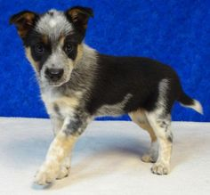 Hi, my name is Rainbow!  I am an Australian Shepherd and Blue Heeler mix that is part of an unwanted litter.  I have 5 other siblings that also came into the shelter in search of a new home.  We were born in the beginning of September and should be...