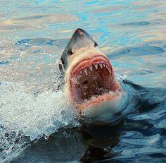 Shark attack - white shark - great white - requin blanc