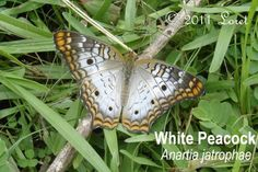 The White Peacock butterfly (Anartia jatrophae) is one of the more prolific members of my garden crew at this time of year.