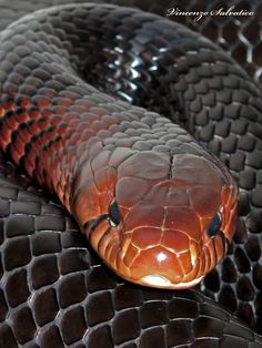 The longest native snake species in the U. Spiders And Snakes, Cool Snakes, Colorful Snakes, Beautiful Creatures, Animals Beautiful, Animals And Pets, Cute Animals, Wild Animals, Serpent Snake