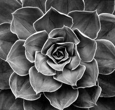 Succulent: Echeveria Subrigida Hybrid, California  1968  gelatin silver print