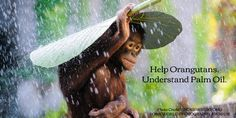 Help Orangutans by understanding Palm Oil issues.    https://www.rainforest-rescue.org/topics/palm-oil  http://www.ucsusa.org/global_warming/solutions/stop-deforestation/palm-oil-and-forests.html#.VrMLycefTL8  http://wwf.panda.org/what_we_do/footprint/agriculture/palm_oil/