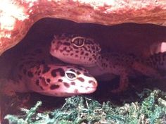 How to Have Fun With Your Leopard Gecko: 14 Steps (with Pictures)