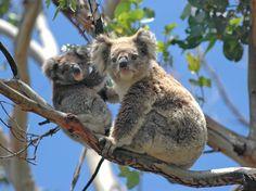 Coalas, Austrália