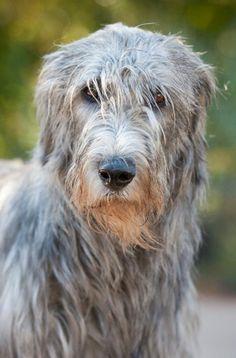 Kane my Irish Wolfhound