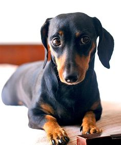 so precious - look at the eyes! #daschund #doxie