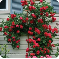 """Growing Blaze Climbing Rose               """"Blaze"""" climbing rose.  I believe this is the one that came up at my fence.  Beautiful dark red blooms.  Mine has buds now."""