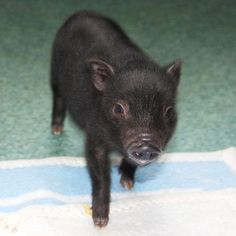 Little pig, little pig -- come on in