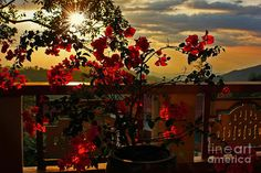 #TROPICAL #BOUGAINVILLEA #SUNSET by #Kaye #Menner #Photography Quality Prints Cards Products at: http://kaye-menner.pixels.com/featured/tropical-bougainvillea-sunset-by-kaye-menner-kaye-menner.html