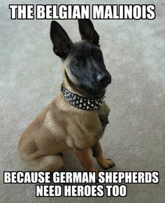#Malinois because GSDs need heroes too; )