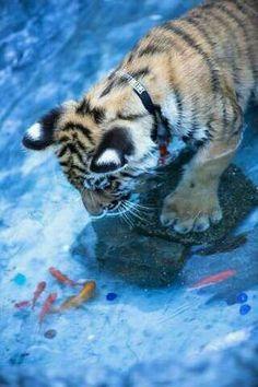tiger cub and fish