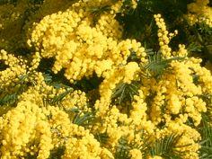 Photo grand format de 'Mimosa en fleurs (Bormes les Mimosas, 13 Février 2005)' Photo Grand Format, Le Mimosa, French Riviera, Herbs, Flowers, Plants, Genre, Yard, France