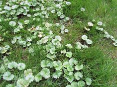 Creeping Charlie Glechoma Hederacea Is A Perennial Ground Cover That Has Been A Thorn In The Side Outdoor Plants Landscaping Organic Lawn Garden Art Projects