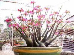 2 mudas rosa do deserto adenium arabicum desert nigth fork