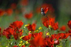 Red Anemones Fine Art Photograph in Custom Sizes Price US$10+ by DondiSchwartz
