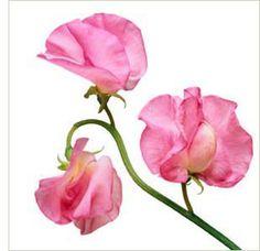 Inspo for watercolor sweet pea tattoo April Birth Flower, Birth Flowers, September Flower, Sweet Pea Tattoo, June Colors, Sweet Pea Flowers, Deco Floral, Ikebana, Botanical Art