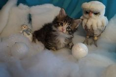 Mélody - 5 semaines Chat Maine Coon, Cats And Kittens, Animals, Cattery, Animales, Animaux, Animal, Animais, Cats