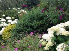 The white flowers are the Annabelle hydrangeas which are spectacular this year.  the butterflies love to rest on them!