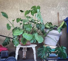 My parents thought this monster got too big for inside. Succulent Landscaping, Monstera Deliciosa, Flora, Succulents, Parents, Landscape, Big, Instagram Posts, Dads