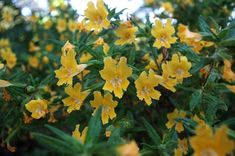 California Native - Sticky Monkey Flower