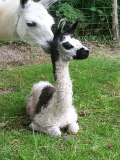 Get me a baby llama. Get me a baby llama right now. Alpacas, Cute Creatures, Beautiful Creatures, Animals Beautiful, Animals And Pets, Baby Animals, Cute Animals, Llama Pictures, Llama Alpaca