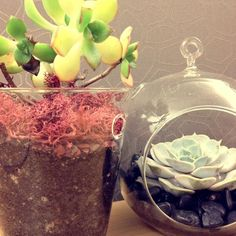 succulents hung in glass circular terrariums