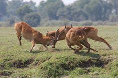 Enjoy a Zambia safari experience in South Luangwa, home of the walking safari. Kafunta Safaris operates Kafunta River Lodge and Island Bush Camp. River Lodge, Big Game, Safari, Remote, Wildlife, Africa, Camping, Raw Edge, Lodges