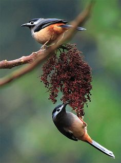 The White-eared Sibia (Heterophasia auricularis) is a species of bird in the Leiothrichidae family. It is endemic to the island of Taiwan. Its natural habitat is temperate forests.