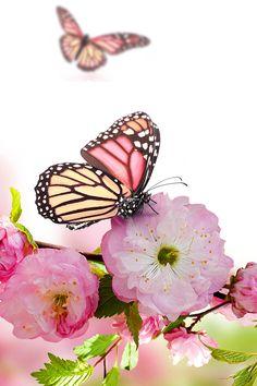 Spring Blossom Wallpaper. #spring #butterfly #iphone #wallpaper